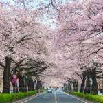 日本のさくら名所百選2019「日立さくらまつり」イベント多数 開催期間中はライトアップも!