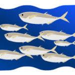 今年の日立久慈漁港はアジ釣り好調!釣って楽しい!食べて美味しい!